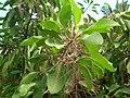 Starr-061108-9606-Charpentiera obovata-flowers-Hoolawa Farms-Maui (24500804339).jpg