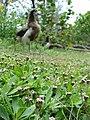 Starr-080608-7705-Phyla nodiflora-habit with Laysan albatross-West Beach Sand Island-Midway Atoll (24290076503).jpg