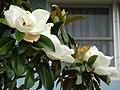 Starr-090421-6302-Magnolia grandiflora-flowers-Pukalani-Maui (24926145326).jpg