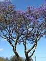 Starr-090513-7519-Jacaranda mimosifolia-flowering habit-Five trees Pukalani-Maui (24327800523).jpg