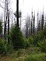 Starr-090513-7709-Sequoia sempervirens-rebounding after fire-Polipoli-Maui (24861698931).jpg