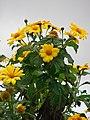 Starr-090519-7991-Tithonia diversifolia-flowers and leaves-Kula-Maui (24328713793).jpg