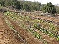 Starr-091020-8371-Colocasia esculenta-horticulture varieties-Kula Experiment Station-Maui (24618828319).jpg