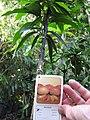 Starr-110215-1202-Mangifera indica-habit with label-KiHana Nursery Kihei-Maui (24982512381).jpg