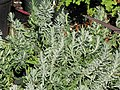 Starr-110215-1213-Lavandula angustifolia-habit-KiHana Nursery Kihei-Maui (24780248140).jpg