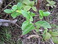 Starr-110331-4608-Ligustrum sp-leaves-Shibuya Farm Kula-Maui (25081992375).jpg