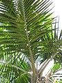 Starr-120522-5933-Prestoea acuminata var montana-leaves-Iao Tropical Gardens of Maui-Maui (24775216709).jpg