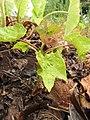 Starr-120620-7537-Jatropha curcas-seedling in duff-Kula Agriculture Park-Maui (24850192310).jpg