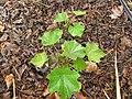 Starr-120620-7543-Jatropha curcas-seedlings-Kula Agriculture Park-Maui (25027608192).jpg