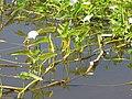 Starr-121029-0420-Ipomoea aquatica-habit in wetland-Ukumehame-Maui (25194781635).jpg