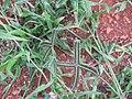 Starr-141217-5590-Dactyloctenium aegyptium-seedheads-Lua Makika-Kahoolawe (24618842124).jpg