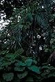Starr-981208-2629-Pueraria montana var lobata-habit-Hana Hwy-Maui (24228966740).jpg