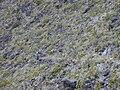Starr 011114-0073 Oenothera stricta subsp. stricta.jpg