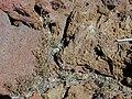 Starr 021114-0077 Arenaria serpyllifolia.jpg