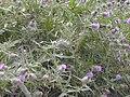 Starr 021126-0054 Cirsium vulgare.jpg
