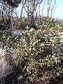 Starr 031015-0078 Eucalyptus sp..jpg