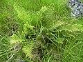 Starr 040522-0030 Dryopteris sandwicensis.jpg