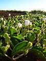 Starr 050208-3882 Jacquemontia ovalifolia subsp. sandwicensis.jpg