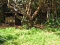 Starr 050516-1227 Schefflera actinophylla.jpg