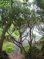 Starr 060422-9387 Calophyllum inophyllum.jpg