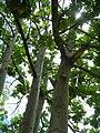 Starr 060703-8344 Artocarpus altilis.jpg