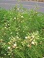 Starr 060721-9551 Leucaena leucocephala.jpg