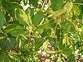 Starr 060814-8562 Schefflera arboricola.jpg