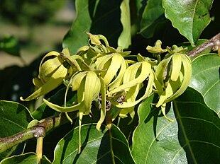 fleurs de l'Ylang ylang