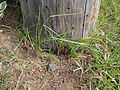Starr 070123-3722 Cyperus rotundus.jpg