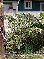 Starr 070403-6472 Solanum melongena.jpg