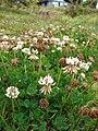 Starr 070621-7490 Trifolium repens.jpg