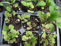 Starr 070906-8898 Eruca vesicaria subsp. sativa.jpg