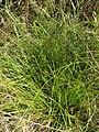 Starr 080209-2714 Cyperus gracilis.jpg
