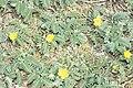 Starr 990412-0550 Tribulus cistoides.jpg