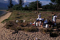 Starr 990930-1044 Ipomoea pes-caprae subsp. brasiliensis.jpg