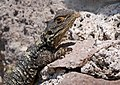 Starred Agama (Stellagama stellio), Lesvos, Greece, 17.04.2015 (17146044179).jpg