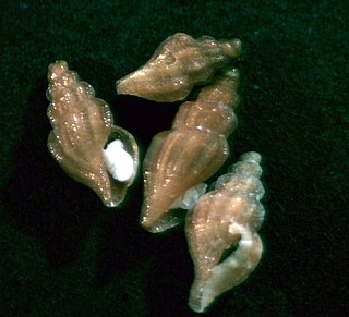 <i>Stellatoma stellata</i> Species of gastropod