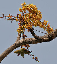 Sterculia villosa at Jayanti, Duars, West Bengal W Picture 237
