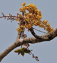 Sterculia villosa at Jayanti, Duars, West Bengal W Picture 237