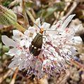 Stigmella aurella. Nepticulidae. - Flickr - gailhampshire (1).jpg