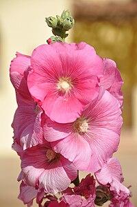 A. rosea, stockros