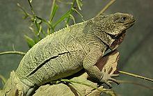 Cyclura pinguis