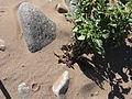 Striga gesnerioides parasitising Datura inoxia IMG 8551.JPG