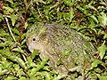 Strigops habroptilus, camouflage.jpg