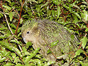 Kakapo camouflaged by its feathers.
