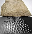 Stromatoporoid (Traverse Group, Middle Devonian; Sunset Park, Petoskey, Michigan, USA) 2 (49740513753).jpg