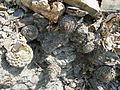 Strombocactus disciformis (5780661968).jpg
