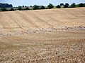 Stubble on the Marborough Downs - geograph.org.uk - 1435734.jpg