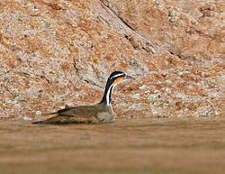 Sungrebe3.jpg