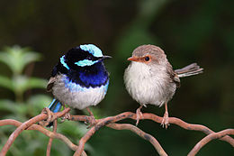 Superb fairy wrens mark 2.jpg